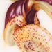 Beverly Allen Stanhopea tigrina Watercolour on vellum